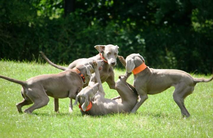 Halbstarke Hunde